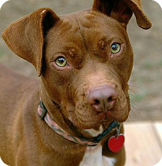 Pit Bull Terrier/Labrador Retriever Mix Dog for adoption in Greenville, South Carolina - Sugar