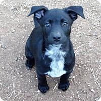 Adopt A Pet :: Pistol - Waller, TX