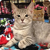Domestic Shorthair Cat for adoption in Jenkintown, Pennsylvania - Tonka - new pictures