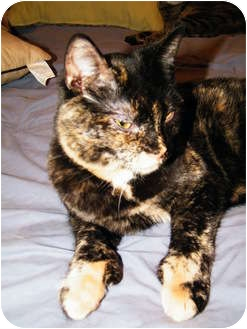 Domestic Shorthair Cat for adoption in Cleveland, Ohio - Mittens