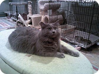 Domestic Longhair Cat for adoption in Muncie, Indiana - Zander