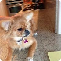 Adopt A Pet :: Pooh Bear - Rescue, CA