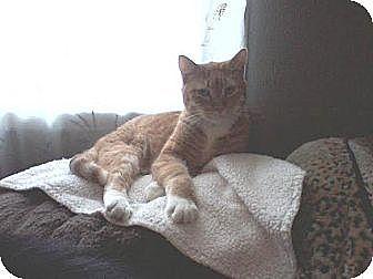 Domestic Shorthair Cat for adoption in Chaska, Minnesota - Harper