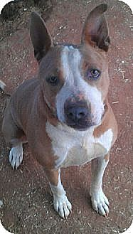 American Staffordshire Terrier Mix Dog for adoption in Blanchard, Oklahoma - Roxy