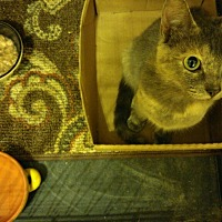 Adopt A Pet :: Geminid - Chattanooga, TN