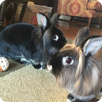 Lionhead Mix for adoption in Albuquerque, New Mexico - Basil and Clover