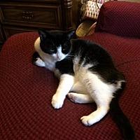 Domestic Shorthair Cat for adoption in San Jose, California - Wee