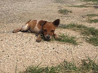 Australian Cattle Dog Dog for adoption in Del Rio, Texas - Rusty