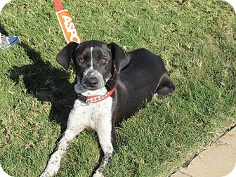 Pointer Mix Dog for adoption in Wichita Falls, Texas - Maizie