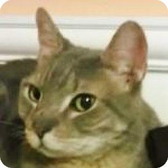 Domestic Shorthair Cat for adoption in Medford, Massachusetts - Big Jake
