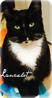 Domestic Shorthair Cat for adoption in McKinney, Texas - Lancelot