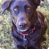 Adopt A Pet :: Yoda - Redmond, WA