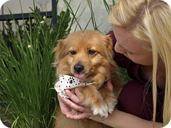 Corgi Mix Dog for adoption in Mission Viejo, California - Patty