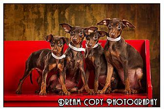 Miniature Pinscher Puppy for adoption in Owensboro, Kentucky - Min Pin Puppies!!