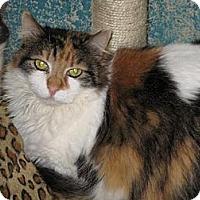 Domestic Longhair Cat for adoption in Sherman Oaks, California - Rosie