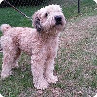 Adopt A Pet :: Shag - ROCKMART, GA