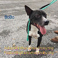 Pit Bull Terrier/Boxer Mix Dog for adoption in Houston, Texas - BoBo