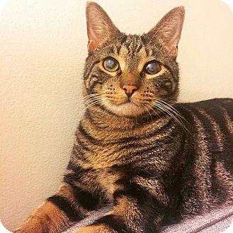 Domestic Shorthair Cat for adoption in Long Beach, New York - Juno