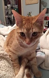 American Shorthair Kitten for adoption in Santa Fe, Texas - Van