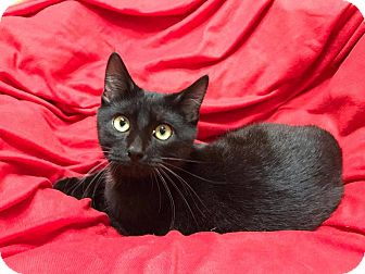 Domestic Shorthair Kitten for adoption in Maryville, Missouri - Orleans