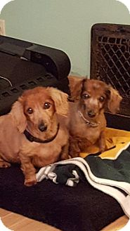 Dachshund Dog for adoption in Union Grove, Wisconsin - Boo & Brody