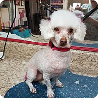 Poodle (Toy or Tea Cup) Dog for adoption in Crump, Tennessee - Lele