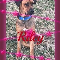 Adopt A Pet :: Riley - Friendswood, TX