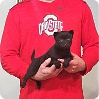 Adopt A Pet :: Armani - South Euclid, OH