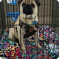 Adopt A Pet :: Elis - Austin, TX