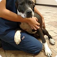 Adopt A Pet :: Baloo - Oviedo, FL