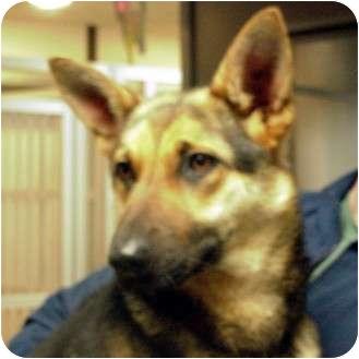 German Shepherd Dog Dog for adoption in Manassas, Virginia - Irene