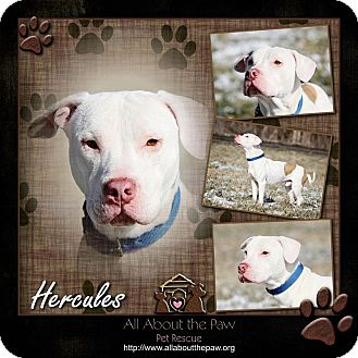 American Pit Bull Terrier Dog for adoption in Mansfield, Ohio - Hercules