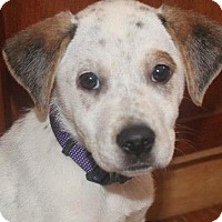 Adopt A Pet :: Pippi - Wappingers, NY