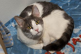 Domestic Shorthair Cat for adoption in Waynesville, North Carolina - Frizzy