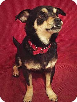 Miniature Pinscher/Rat Terrier Mix Dog for adoption in San Francisco, California - Bo