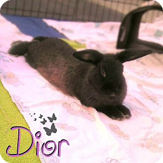 American Sable Mix for adoption in Los Angeles, California - Dior