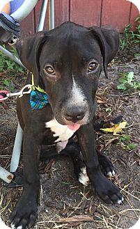 American Pit Bull Terrier Mix Puppy for adoption in Jacksonville, Florida - Cam Newton