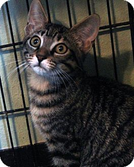 Domestic Shorthair Kitten for adoption in Waco, Texas - Stripes