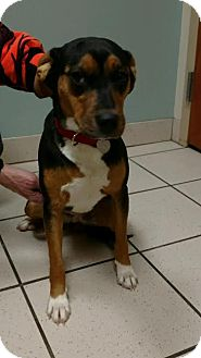 Beagle Mix Dog for adoption in Huntley, Illinois - Holly