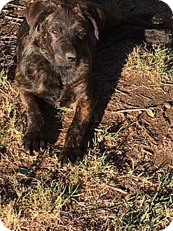 German Shepherd Dog/Mastiff Mix Puppy for adoption in Concord, California - Oso