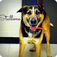 Adopt A Pet :: Stallone - Defiance, OH