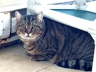 Domestic Shorthair Cat for adoption in Middletown, New York - Broccoli