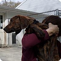 Adopt A Pet :: Brindle Boy - Beacon, NY