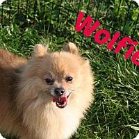 Adopt A Pet :: Wolfie - Brazil, IN