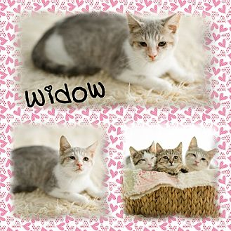 Domestic Shorthair Kitten for adoption in DOVER, Ohio - Widow