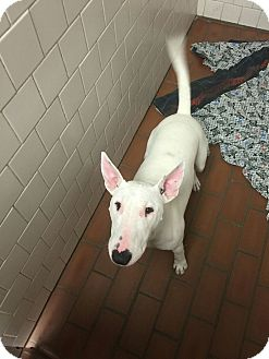 Bull Terrier Mix Dog for adoption in Las Vegas, Nevada - Darla