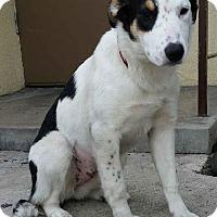 Adopt A Pet :: Amelia - Canoga Park, CA
