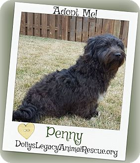Petit Basset Griffon Vendeen/Scottie, Scottish Terrier Mix Dog for adoption in Lincoln, Nebraska - PENNY