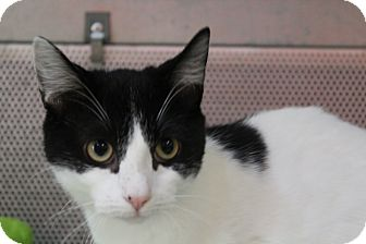 Domestic Shorthair Cat for adoption in Sarasota, Florida - Lotti