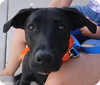 Labrador Retriever Mix Dog for adoption in Littleton, Colorado - Prelude